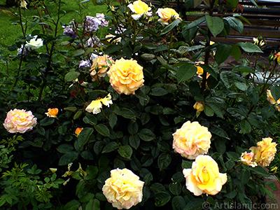 Sarı gül resmi. <i>(Ailesi: Rosaceae, Türü: Rosa)</i> <br>Çekim Tarihi: Mayıs 2007, Yer: Tekirdağ, Fotoğraf: islamiSanat.net