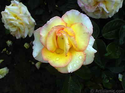 Yellow rose photo. <i>(Family: Rosaceae, Species: Rosa)</i> <br>Photo Date: May 2007, Location: Turkey/Tekirdag, By: Artislamic.com