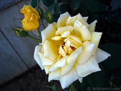 Yellow rose photo. <i>(Family: Rosaceae, Species: Rosa)</i> <br>Photo Date: June 2006, Location: Turkey/Tekirdag, By: Artislamic.com