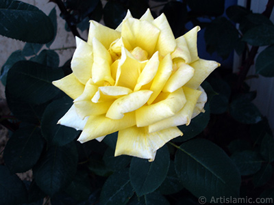 Yellow rose photo.