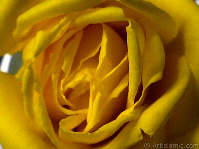 Yellow rose photo. <i>(Family: Rosaceae, Species: Rosa)</i> <br>Photo Date: December 2006, Location: Turkey/Balıkesir-Altınoluk, By: Artislamic.com