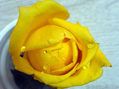 Yellow rose photo. <i>(Family: Rosaceae, Species: Rosa)</i> <br>Photo Date: December 2006, Location: Turkey/Balıkesir-Altınoluk, By: Artislamic.com