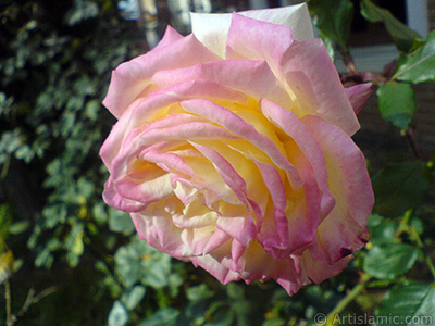 Variegated (mottled) rose photo. <i>(Family: Rosaceae, Species: Rosa)</i> <br>Photo Date: December 2009, Location: Turkey/Istanbul, By: Artislamic.com