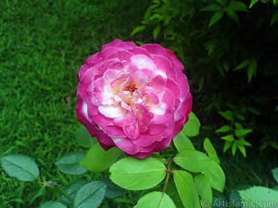 Karışık renkli -alacalı, benekli- gül resmi. <i>(Ailesi: Rosaceae, Türü: Rosa)</i> <br>Çekim Tarihi: Temmuz 2010, Yer: Yalova-Termal, Fotoğraf: islamiSanat.net