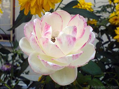 Variegated (mottled) rose photo. <i>(Family: Rosaceae, Species: Rosa)</i> <br>Photo Date: August 2009, Location: Turkey/Yalova-Termal, By: Artislamic.com