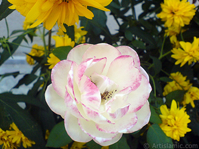 Variegated (mottled) rose photo. <i>(Family: Rosaceae, Species: Rosa)</i> <br>Photo Date: August 2009, Location: Turkey/Yalova-Termal, By: Artislamic.com