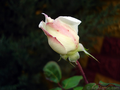 Variegated (mottled) rose photo. <i>(Family: Rosaceae, Species: Rosa)</i> <br>Photo Date: November 2007, Location: Turkey/Sakarya, By: Artislamic.com