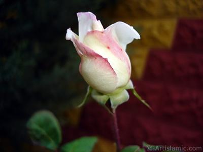 Variegated (mottled) rose photo. <i>(Family: Rosaceae, Species: Rosa)</i> <br>Photo Date: November 2007, Location: Turkey/Sakarya, By: Artislamic.com