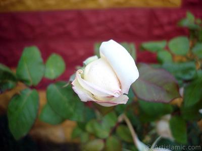 Karışık renkli -alacalı, benekli- gül resmi. <i>(Ailesi: Rosaceae, Türü: Rosa)</i> <br>Çekim Tarihi: Kasım 2007, Yer: Sakarya, Fotoğraf: islamiSanat.net
