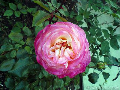 Variegated (mottled) rose photo. <i>(Family: Rosaceae, Species: Rosa)</i> <br>Photo Date: November 2006, Location: Turkey/Balıkesir-Altınoluk, By: Artislamic.com