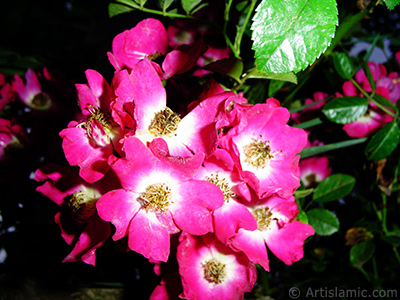 Variegated (mottled) rose photo. <i>(Family: Rosaceae, Species: Rosa)</i> <br>Photo Date: June 2005, Location: Turkey/Trabzon, By: Artislamic.com