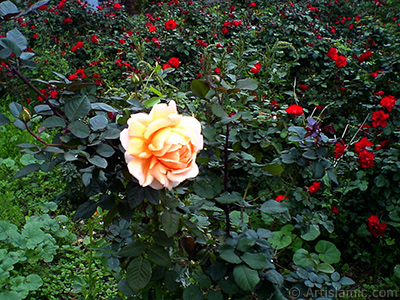 Salmon Color rose photo.