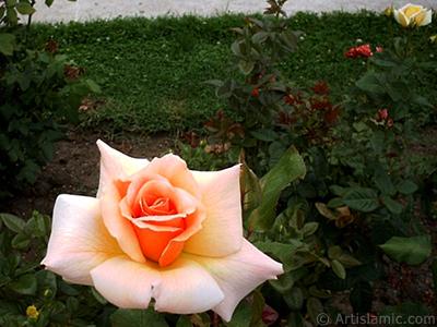 Kiremit -aslanağzı, somon- renkli gül resmi. <i>(Ailesi: Rosaceae, Türü: Rosa)</i> <br>Çekim Tarihi: Ocak 2002, Yer: İstanbul, Fotoğraf: islamiSanat.net