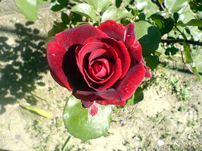 Burgundy Color rose photo. <i>(Family: Rosaceae, Species: Rosa)</i> <br>Photo Date: May 2007, Location: Turkey/Sakarya, By: Artislamic.com