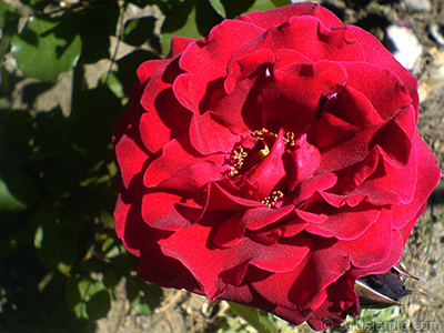 Burgundy Color rose photo. <i>(Family: Rosaceae, Species: Rosa)</i> <br>Photo Date: May 2007, Location: Turkey/Sakarya, By: Artislamic.com