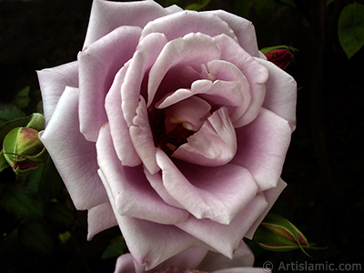 Lilac-color (lavender) rose photo.