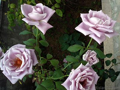 Eflatun -leylak renkli- gül resmi. <i>(Ailesi: Rosaceae, Türü: Rosa)</i> <br>Çekim Tarihi: Ağustos 2008, Yer: Yalova-Termal, Fotoğraf: islamiSanat.net