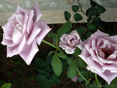 Lilac-color (lavender) rose photo. <i>(Family: Rosaceae, Species: Rosa)</i> <br>Photo Date: August 2008, Location: Turkey/Yalova-Termal, By: Artislamic.com