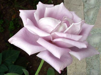 Lilac-color (lavender) rose photo. <i>(Family: Rosaceae, Species: Rosa)</i> <br>Photo Date: August 2008, Location: Turkey/Yalova-Termal, By: Artislamic.com