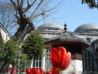 Red Turkish-Ottoman Tulip photo. <i>(Family: Liliaceae, Species: Lilliopsida)</i> <br>Photo Date: April 2005, Location: Turkey/Istanbul, By: Artislamic.com
