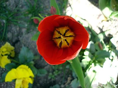 Red Turkish-Ottoman Tulip photo. <i>(Family: Liliaceae, Species: Lilliopsida)</i> <br>Photo Date: April 2005, Location: Turkey/Istanbul, By: Artislamic.com