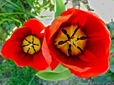 Red Turkish-Ottoman Tulip photo.