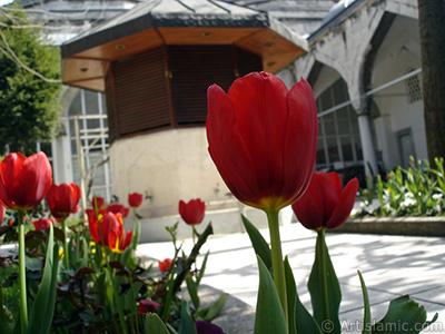 Kırmızı Türk-Osmanlı Lalesi resmi. <i>(Ailesi: Liliaceae, Türü: Lilliopsida)</i> <br>Çekim Tarihi: Nisan 2005, Yer: İstanbul, Fotoğraf: islamiSanat.net