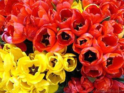 Red-yellow color Turkish-Ottoman Tulip photo. <i>(Family: Liliaceae, Species: Lilliopsida)</i> <br>Photo Date: April 2005, Location: Turkey/Istanbul-Uskudar, By: Artislamic.com