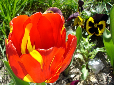 Red-yellow color Turkish-Ottoman Tulip photo.
