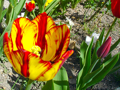 Red-yellow color Turkish-Ottoman Tulip photo. <i>(Family: Liliaceae, Species: Lilliopsida)</i> <br>Photo Date: April 2005, Location: Turkey/Istanbul, By: Artislamic.com