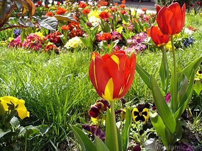 Kırmızı-sarı Türk-Osmanlı Lalesi resmi. <i>(Ailesi: Liliaceae, Türü: Lilliopsida)</i> <br>Çekim Tarihi: Nisan 2005, Yer: İstanbul, Fotoğraf: islamiSanat.net