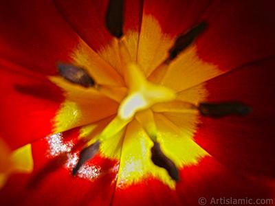Kırmızı-sarı Türk-Osmanlı Lalesi resmi. <i>(Ailesi: Liliaceae, Türü: Lilliopsida)</i> <br>Çekim Tarihi: Mart 2011, Yer: İstanbul, Fotoğraf: islamiSanat.net