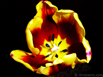 Red-yellow color Turkish-Ottoman Tulip photo. <i>(Family: Liliaceae, Species: Lilliopsida)</i> <br>Photo Date: March 2011, Location: Turkey/Istanbul, By: Artislamic.com