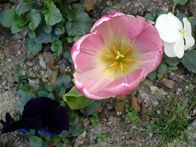 Pembe renkli Türk-Osmanlı Lalesi resmi. <i>(Ailesi: Liliaceae, Türü: Lilliopsida)</i> <br>Çekim Tarihi: Nisan 2005, Yer: İstanbul, Fotoğraf: islamiSanat.net