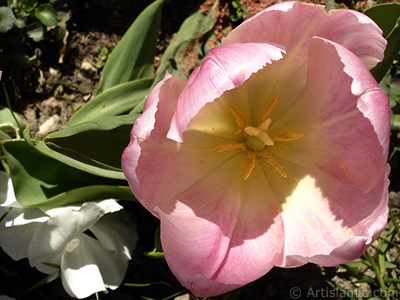 Pink color Turkish-Ottoman Tulip photo.