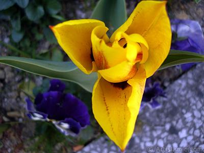 Yellow color Turkish-Ottoman Tulip photo. <i>(Family: Liliaceae, Species: Lilliopsida)</i> <br>Photo Date: April 2005, Location: Turkey/Istanbul, By: Artislamic.com