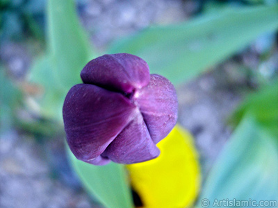 Purple color Turkish-Ottoman Tulip photo. <i>(Family: Liliaceae, Species: Lilliopsida)</i> <br>Photo Date: April 2005, Location: Turkey/Istanbul, By: Artislamic.com