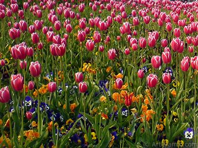 Turkish-Ottoman Tulips. <i>(Family: Liliaceae, Species: Lilliopsida)</i> <br>Photo Date: April 2008, Location: Turkey/Istanbul, By: Artislamic.com