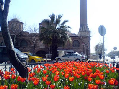 Türk-Osmanlı Laleleri. <i>(Ailesi: Liliaceae, Türü: Lilliopsida)</i> <br>Çekim Tarihi: Mart 2008, Yer: İstanbul, Fotoğraf: islamiSanat.net