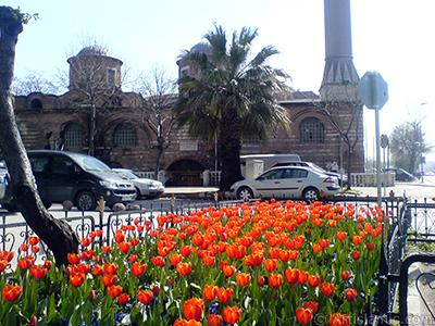 Turkish-Ottoman Tulips. <i>(Family: Liliaceae, Species: Lilliopsida)</i> <br>Photo Date: March 2008, Location: Turkey/Istanbul, By: Artislamic.com