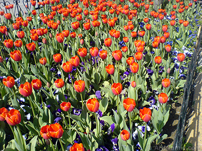 Turkish-Ottoman Tulips. <i>(Family: Liliaceae, Species: Lilliopsida)</i> <br>Photo Date: March 2008, Location: Turkey/Istanbul, By: Artislamic.com