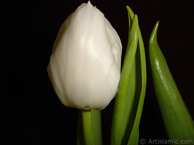 White color Turkish-Ottoman Tulip photo.