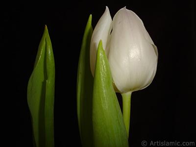 White color Turkish-Ottoman Tulip photo. <i>(Family: Liliaceae, Species: Lilliopsida)</i> <br>Photo Date: April 2011, Location: Turkey/Istanbul, By: Artislamic.com