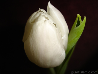 White color Turkish-Ottoman Tulip photo. <i>(Family: Liliaceae, Species: Lilliopsida)</i> <br>Photo Date: April 2011, Location: Turkey/Istanbul, By: Artislamic.com