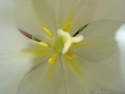 Beyaz renkli Türk-Osmanlı Lalesi resmi. <i>(Ailesi: Liliaceae, Türü: Lilliopsida)</i> <br>Çekim Tarihi: Nisan 2011, Yer: İstanbul, Fotoğraf: islamiSanat.net