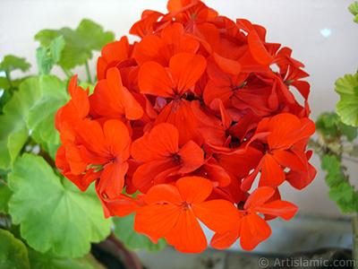 Kırmızı sardunya çiçeği resmi. <i>(Ailesi: Geraniaceae, Türü: Pelargonium)</i> <br>Çekim Tarihi: Eylül 2008, Yer: İstanbul-Annemin Çiçekleri, Fotoğraf: islamiSanat.net