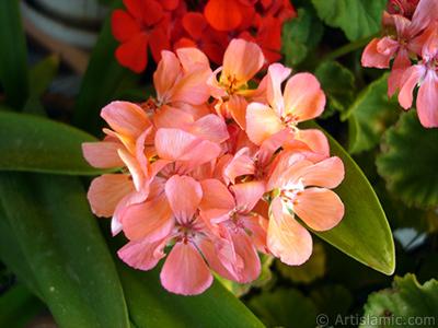 Red Colored Pelargonia -Geranium- flower. <i>(Family: Geraniaceae, Species: Pelargonium)</i> <br>Photo Date: September 2006, Location: Turkey/Istanbul-Mother`s Flowers, By: Artislamic.com
