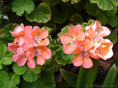 Red Colored Pelargonia -Geranium- flower. <i>(Family: Geraniaceae, Species: Pelargonium)</i> <br>Photo Date: August 2006, Location: Turkey/Istanbul-Mother`s Flowers, By: Artislamic.com