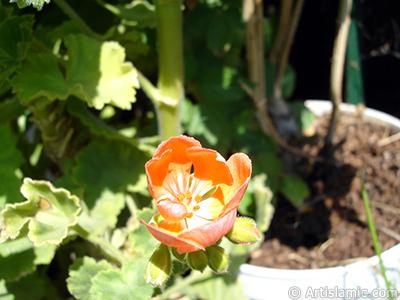 Kırmızı sardunya çiçeği resmi. <i>(Ailesi: Geraniaceae, Türü: Pelargonium)</i> <br>Çekim Tarihi: Ağustos 2006, Yer: İstanbul-Annemin Çiçekleri, Fotoğraf: islamiSanat.net