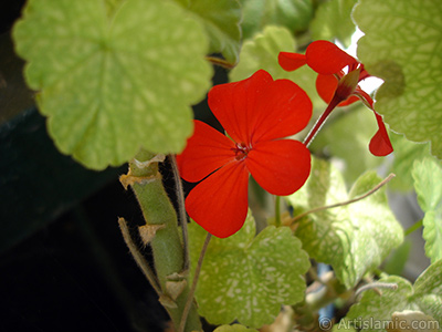 Red Colored Pelargonia -Geranium- flower. <i>(Family: Geraniaceae, Species: Pelargonium)</i> <br>Photo Date: July 2006, Location: Turkey/Istanbul-Mother`s Flowers, By: Artislamic.com